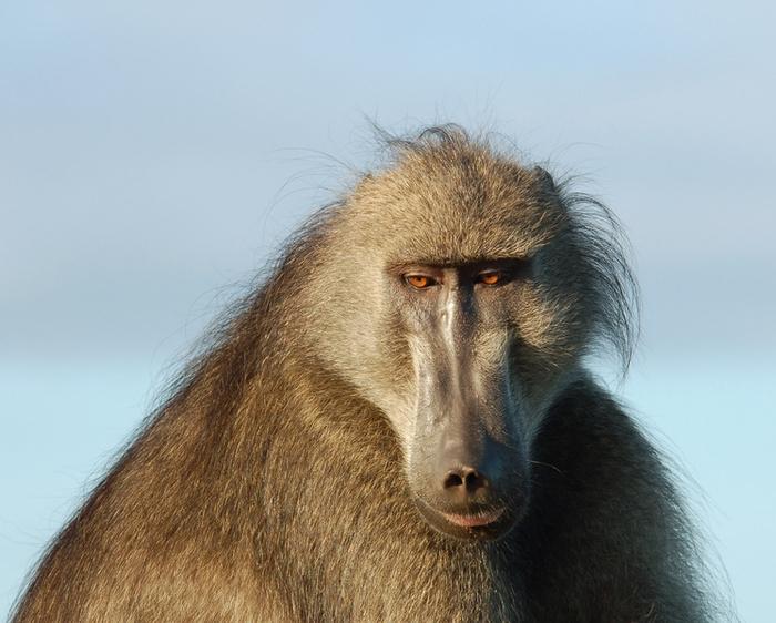 Chacma baboon - photo#11