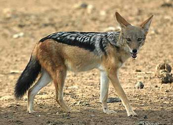 Охотничьи звери - шакал  canis aureus  - питерский
